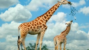 Giraffe-mother-and-baby