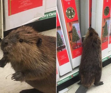 beavergonewild2016