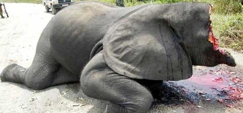 victim-of-elephant-poaching-600x280
